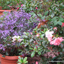 End-of-Autumn Downunder - Plectranthus 'Mona Lavender' and Azalea