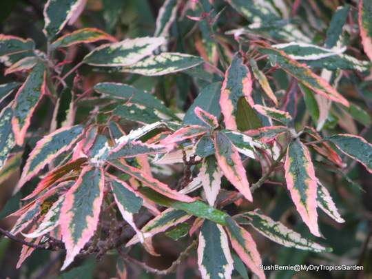 End-of-Autumn Downunder - Acalypha 'Firestorm' (Acalypha)