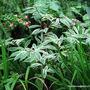 End-of-Autumn Downunder - Costus speciosus variegata or Variegated Crepe Ginger  (Costus speciosus)