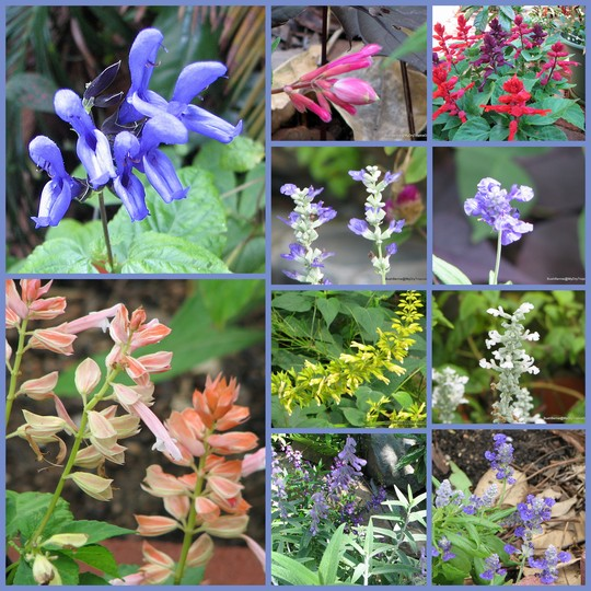 End-of-Autumn Downunder - Salvias on show