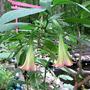 Brug_frosty_pink_torii_6_24_08_good_sm
