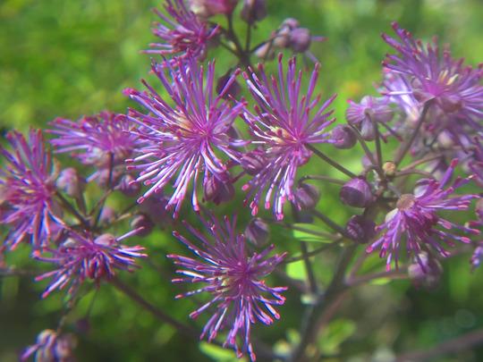 thalictrum flowers  (thalictrum)