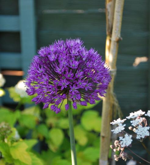 Allium Purple Sensation.... (Allium Purple Sensation)