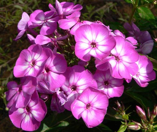 """Garden Phlox """"Laura"""" (Phlox paniculata (Perennial phlox))"""