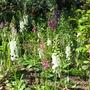 Verbascum 'Phoeniceum' (Verbascum phoeniceum (Purple Mullein))