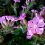 Silene 'Rolly's Favourite' (Silene dioica (Red Campion))