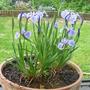 Iris Setosa 2012 (Iris setosa (Beachhead Iris))