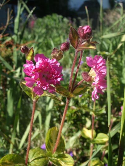 Silene flore pleno (Silene dioica)