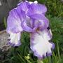 Iris Germ Dancers Veil