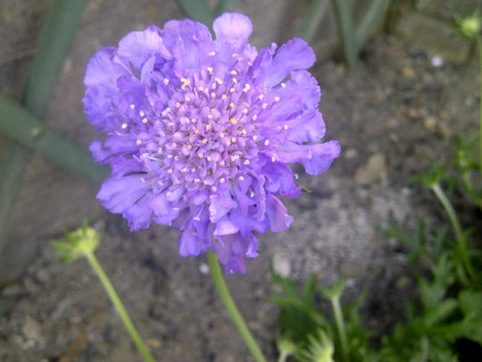 Scabious Blue Butterfly (Scabiosa africana (African Scabious))