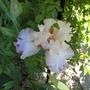 Iris germ.Celebration Song (Iris germanica (Orris))