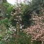 Amelanchier lamarckii (Amelanchier lamarckii)