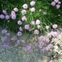 Armeria - Sea Pinks