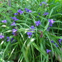Tradescanthia Blue & Gold