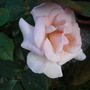 Rose 'Whiter Shade of Pale'