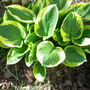 Paired with Sieboldi in our Hosta Border
