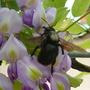 Wisteria and big black bee...