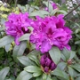 Rhododendron_purple_splendour_2012