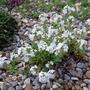 Erinus_alpinus_albus_2012