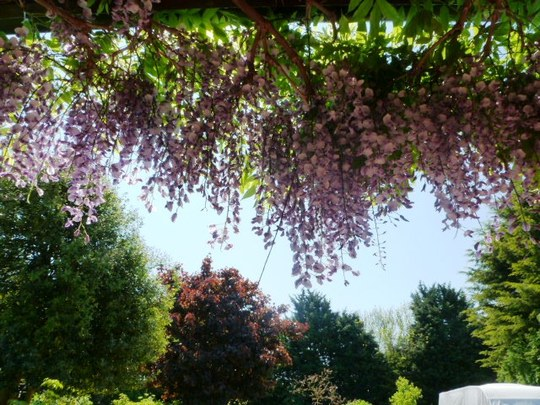 Wisteria ... hanging over my door