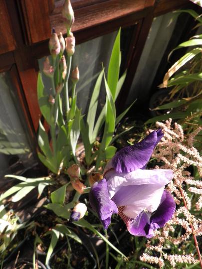 Irises emerging : )