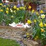 closeup daffodils