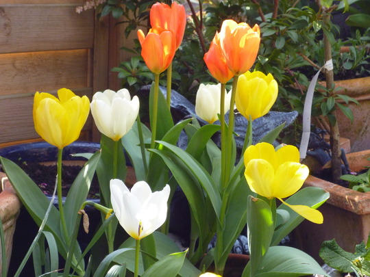 tulips oranges and lemons