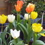 tulips oranges and lemons