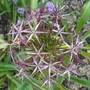 Allium_christophii