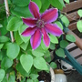 Clematis, 'Fireworks'