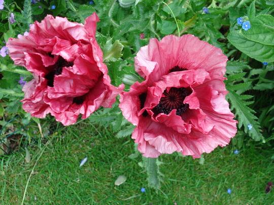 Perennial poppy 'Pattys Plum'