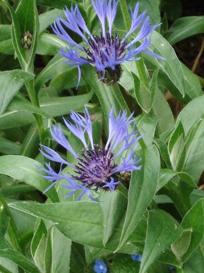 Perennial cornflower