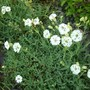 Sea Campion (Silene maritima) (Sea Campion (Silene maritima))