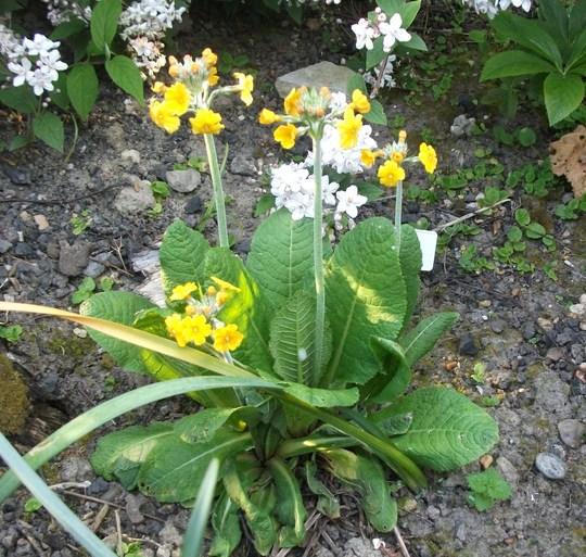 Primula bulleyana (Candelabra) (Primula bulleyana (Candelabra primula))