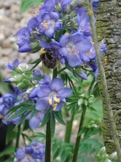 Busy bee on jacobs ladder
