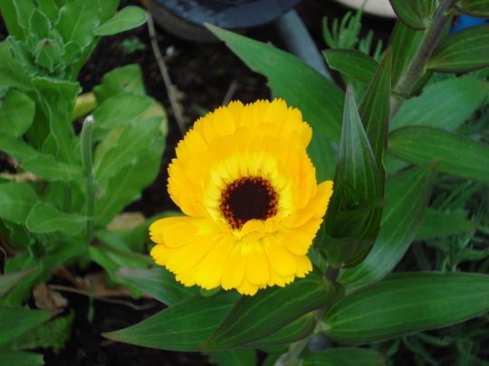 Good old marigold...love them