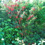 Crinodendron (Crinodendron hookerianum (Chilean Lantern Tree))