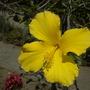 Hibiscus rosa-sinensis - Yellow Tropical Hibiscus  (Hibiscus rosa-sinensis - Yellow Tropical Hibiscus)