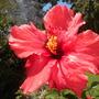 Hibiscus rosa-sinensis - 'San Diego Red' Hibiscus  (Hibiscus rosa-sinensis - 'San Diego Red' Tropical Hibiscus)