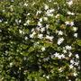 Carissa macrocarpa - Natal Plum Flowering (Carissa macrocarpa - Natal Plum)