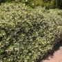 Trachelospermum jasminoides - Star Jasmine (Trachelospermum jasminoides - Star Jasmine)