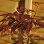 Acer &#x27;Atropurpureum&#x27; (Acer palmatum (Japanese maple))
