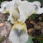 Green Spot (Iris germanica (Orris))