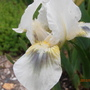 Dwarf Bearded Iris Green Spot (Iris germanica (Orris))