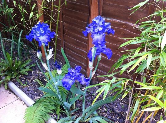 bearded iris...'mer de sud'