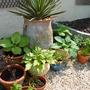 Hostas and herbs
