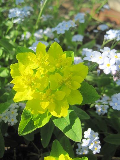 cushion spurge (Euphorbia hyberna (Irish Spurge))