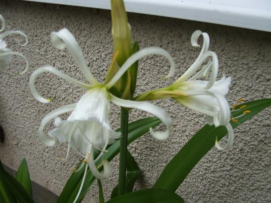 Peruvian daffodil in flower
