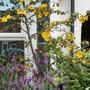 Fremontodendron californicum - front 'yard'