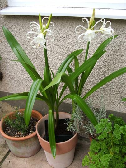 Peruvian Daffodils